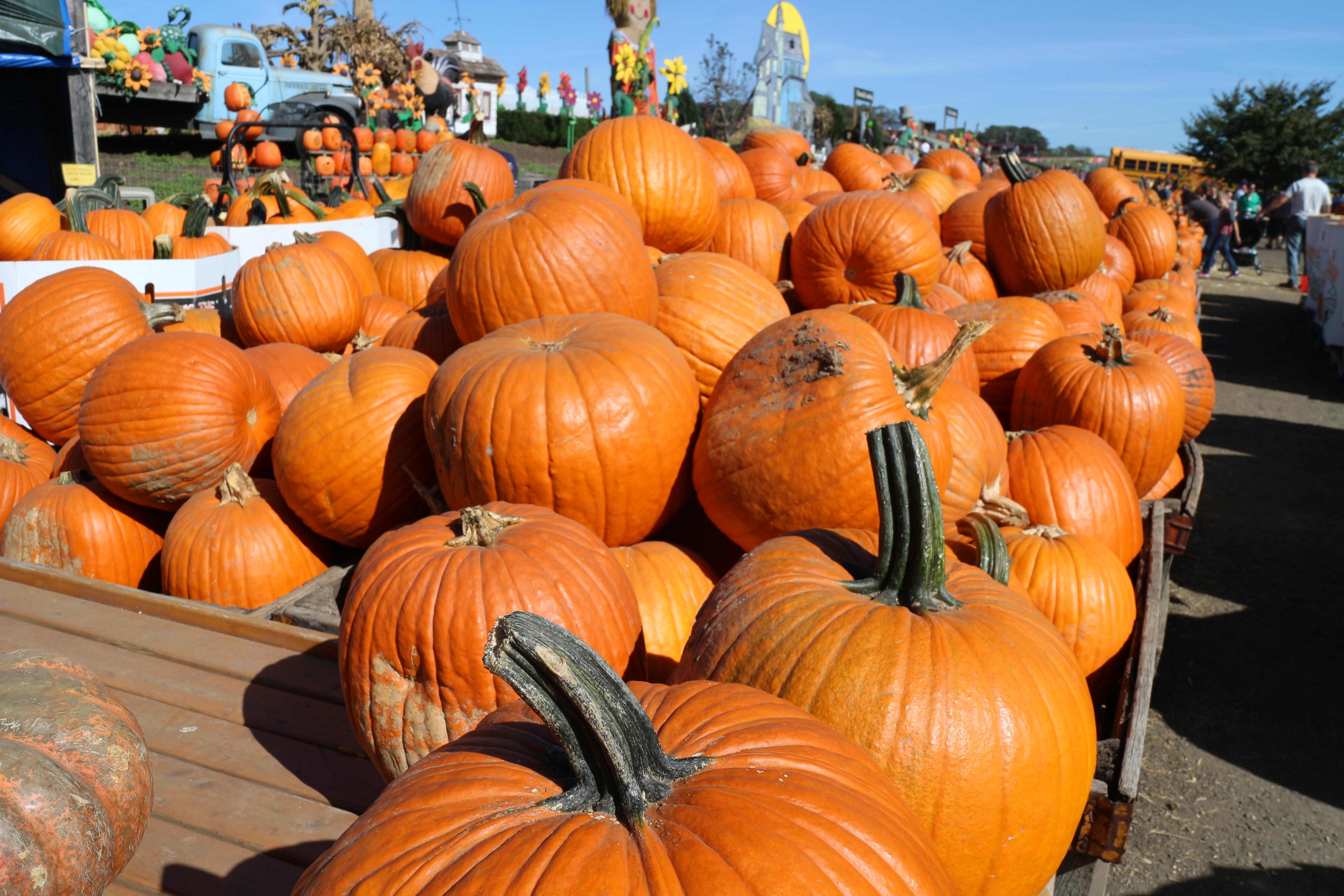Linvilla Orchards - pumpkins