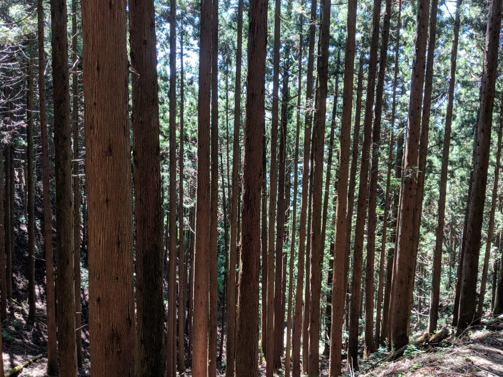 Trees getting taller as you ascend the Ougiyama trail